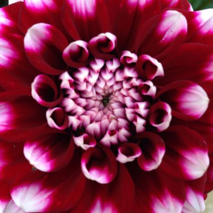 parc-floral-de-vincennes-photo-de-l'exposition-Dahlias