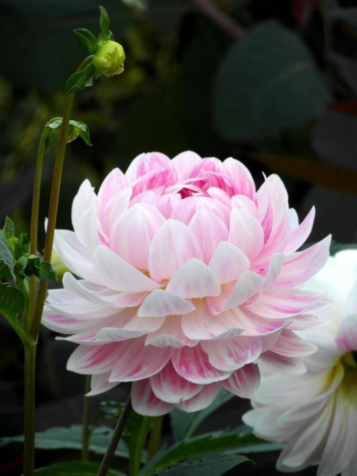 parc-floral-de-vincennes-photo-de-l'exposition-des-dahlias