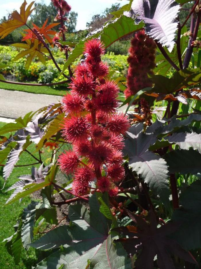 parc-floral-de-vincennes-ricin-fleuri-dans-le-parc-de-paris