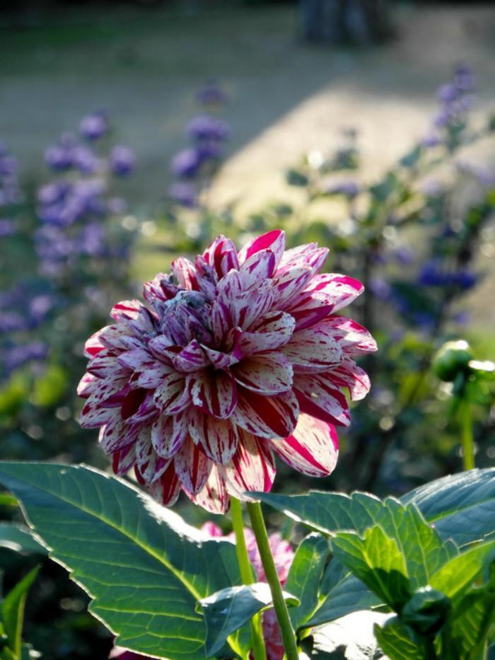 parc-floral-de-vincennes-un-dahlia-bariolé