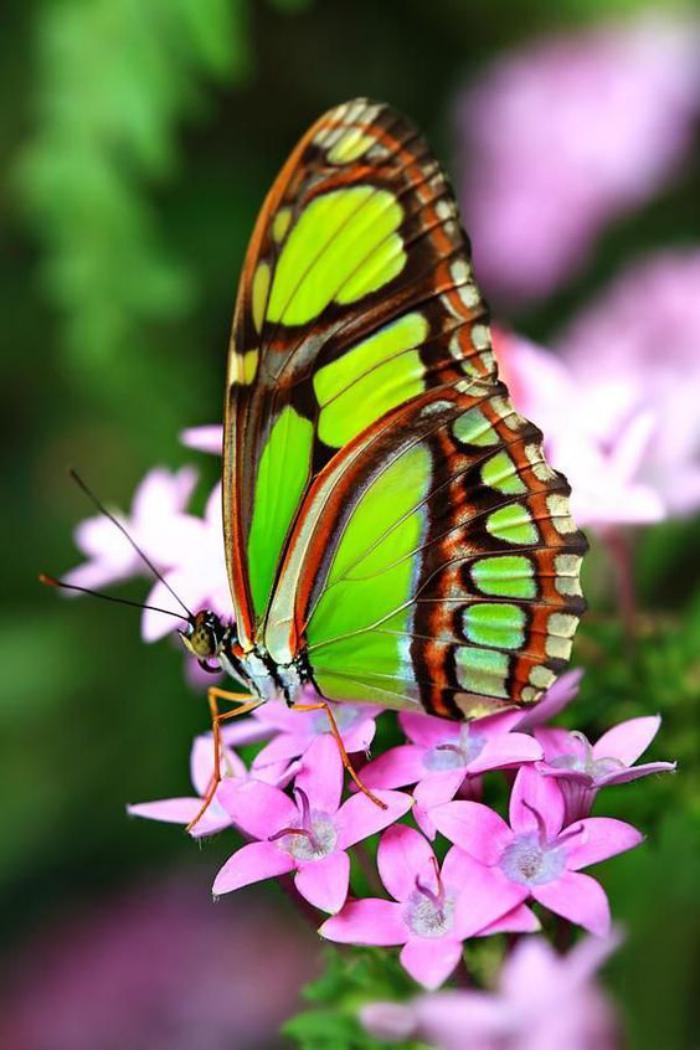 photos-de-papillons-beau-papillon-vert-sur-une-branche-fleuri-en-rose