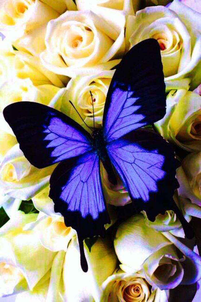 photos-de-papillons-belles-images-de-papillons