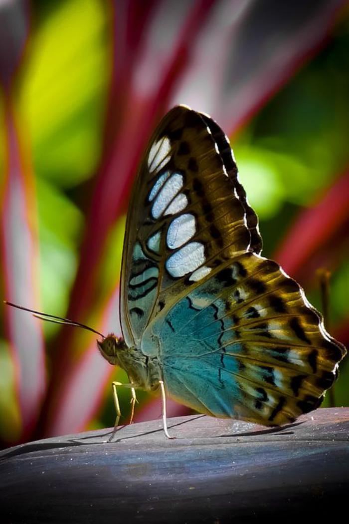 photos-de-papillons-couleurs-variables-des-papillons