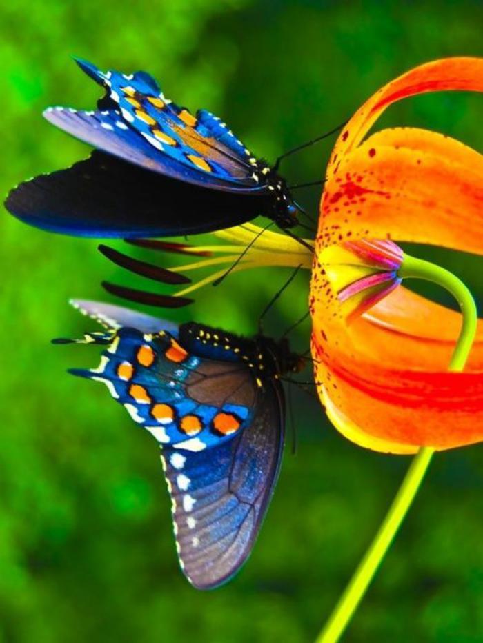 photos-de-papillons-deux-papillons-buvant-du-nectar