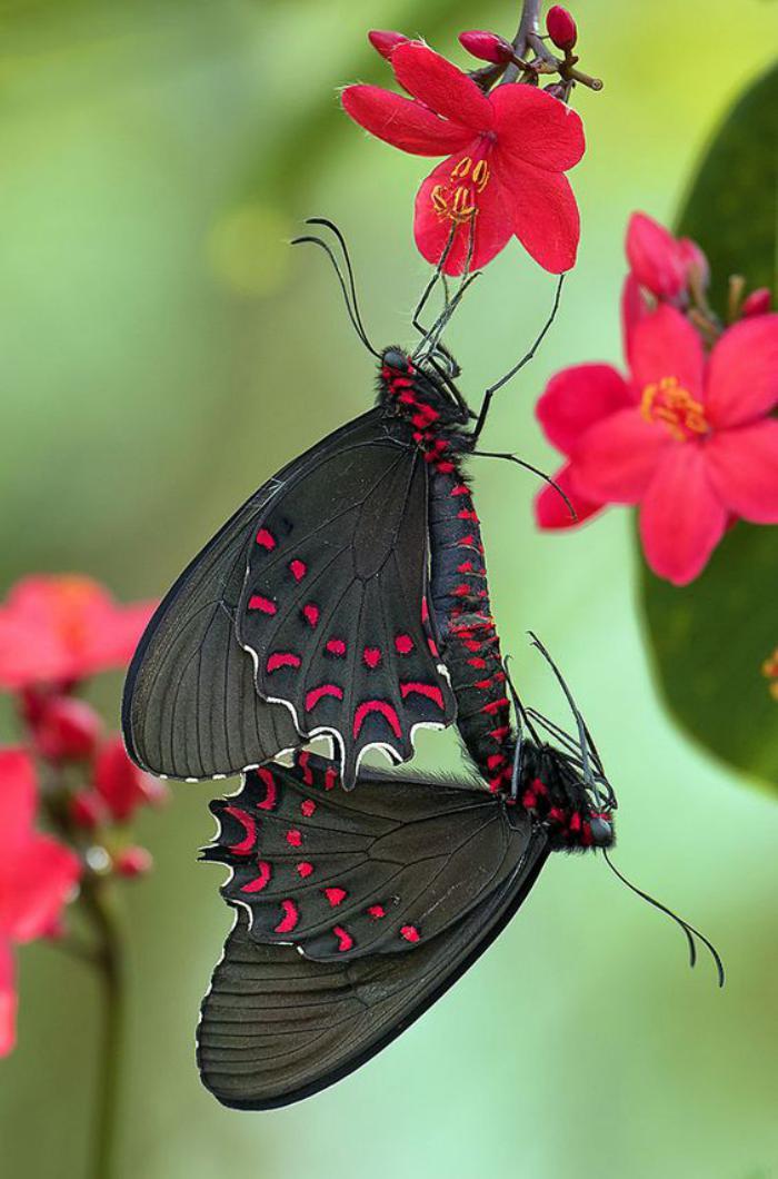 photos-de-papillons-deux-papillons-fantastiques-couleur-noire-et-taches-fuchsia