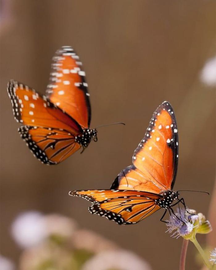 photos-de-papillons-deux-papillons-images-papillons