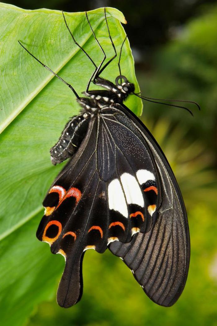 photos-de-papillons-espèce-de-papillon-noire