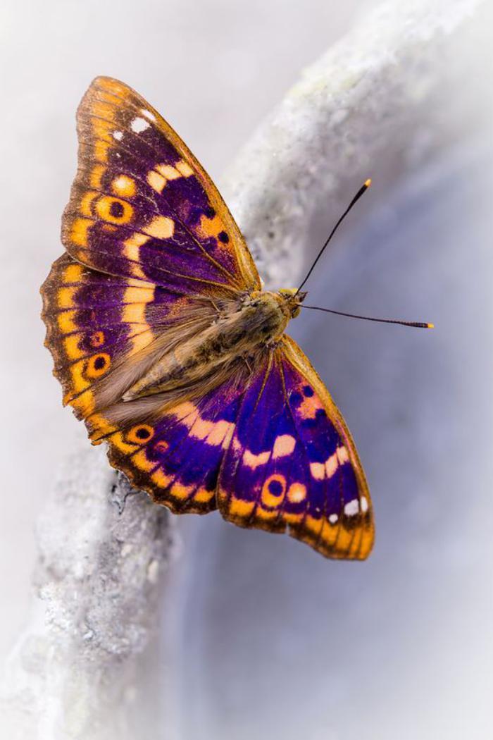 photos-de-papillons-image-papillon-jaune-et-lilas