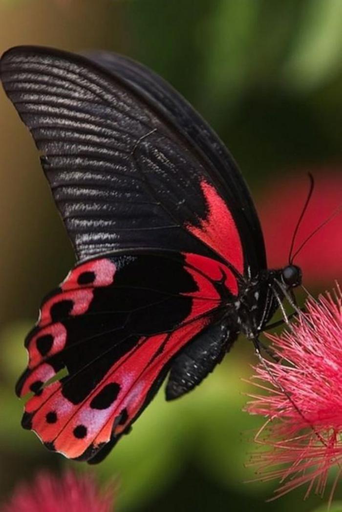 photos-de-papillons-image-papillon-rouge-et-noir