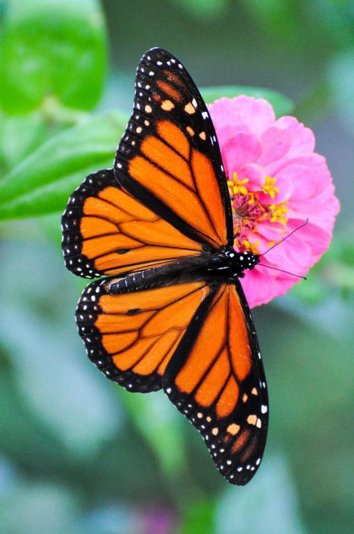photos-de-papillons-images-de-jolis-papillons