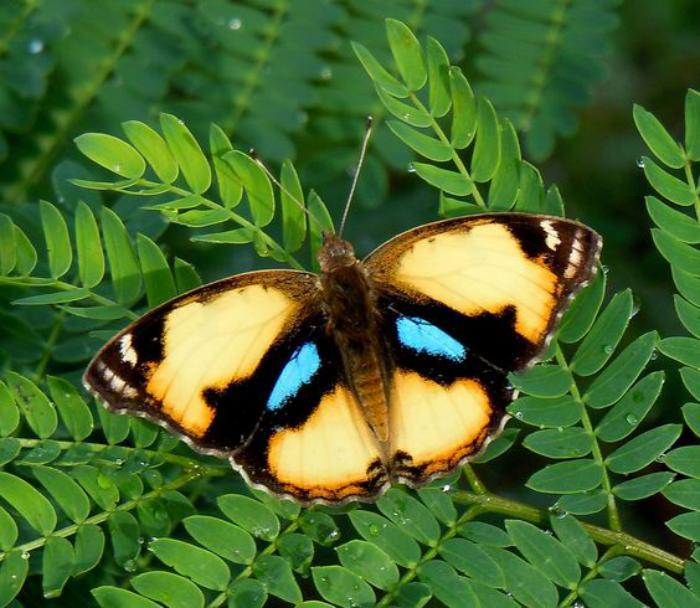 photos-de-papillons-images-de-papillons-photo-papillon-bige-et-bleu