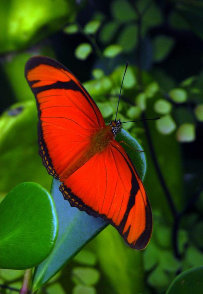 photos-de-papillons-joli-papillon-rouge-se-repose-sur-une-feuille