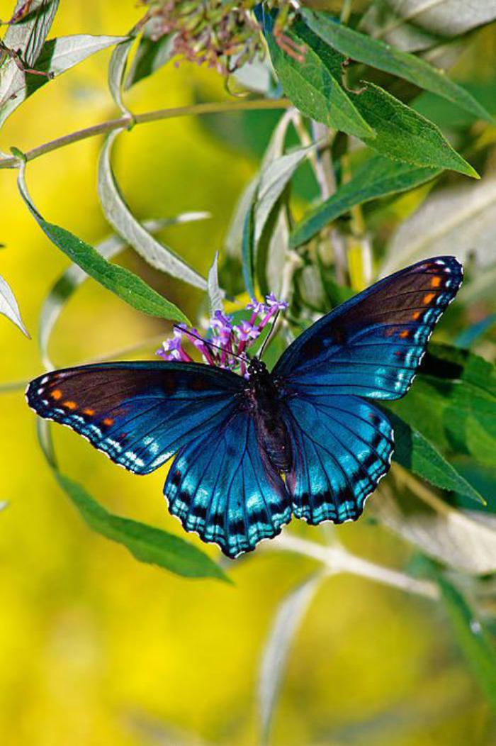 photos-de-papillons-la-beauté-des-papillons-bleus