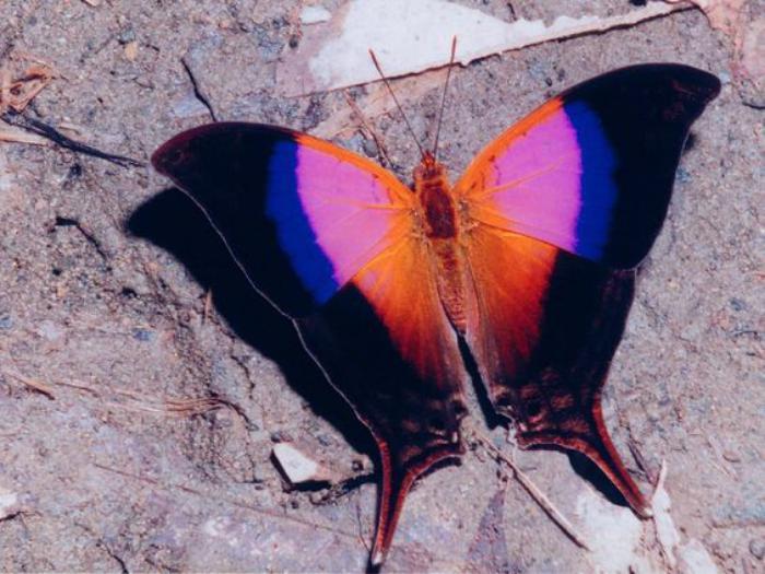 photos-de-papillons-papillon-aux-couleurs-fantastiques-images-de-papillons