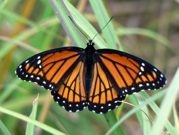photos-de-papillons-papillon-noir-et-orange-avec-petites-taches-blanches