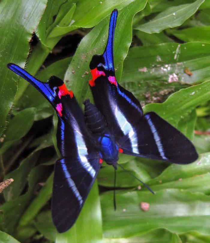 photos-de-papillons-papillon-rouge-et-noir