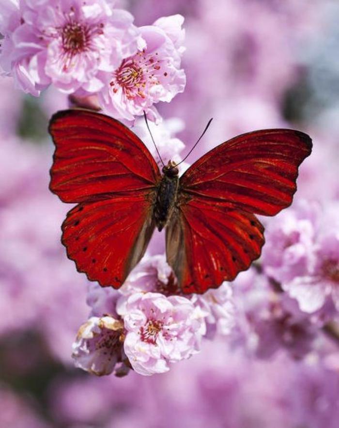 photos-de-papillons-papillon-rouge-sur-une-branche-rose-fleurie