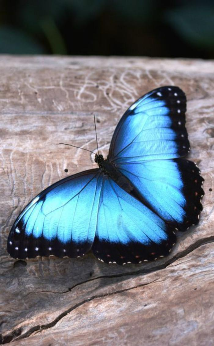 photos-de-papillons-papillon-splendide-photo-papillon-morpho