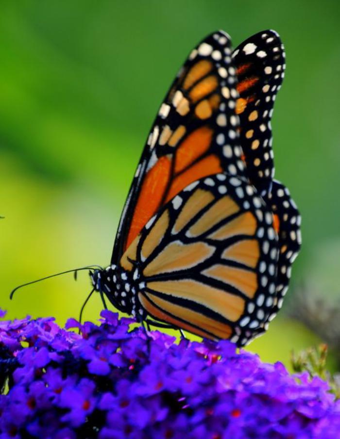 photos-de-papillons-papillon-sur-fleurs-lilas