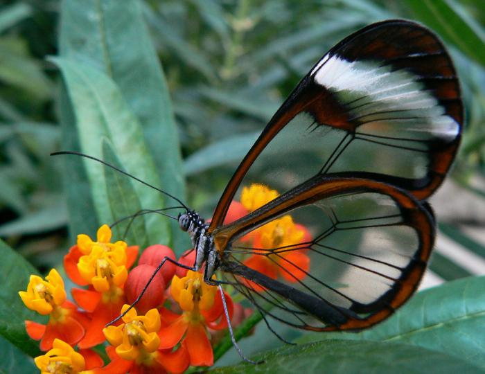 photos-de-papillons-photo-papillon-ailes-translucides