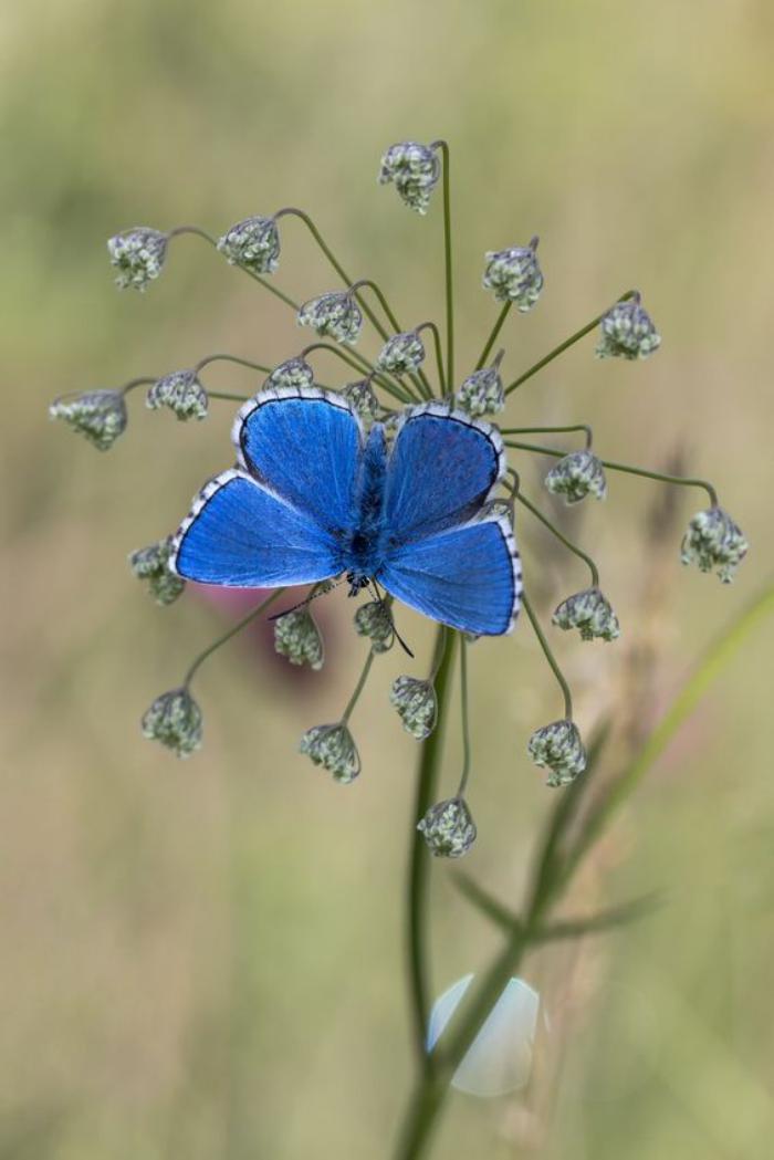 photos-de-papillons-photo-papillon-bleu