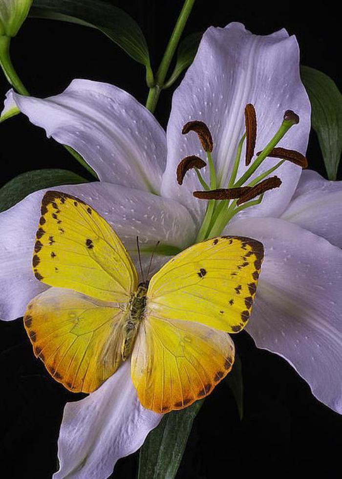 photos-de-papillons-photo-papillon-jaune-créatures-fantastiques
