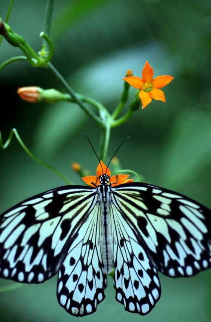 photos-de-papillons-photo-papillon-noir-et-blanc