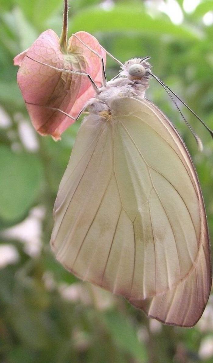 photos-de-papillons-photo-papillon-rose-fragile-et-beau