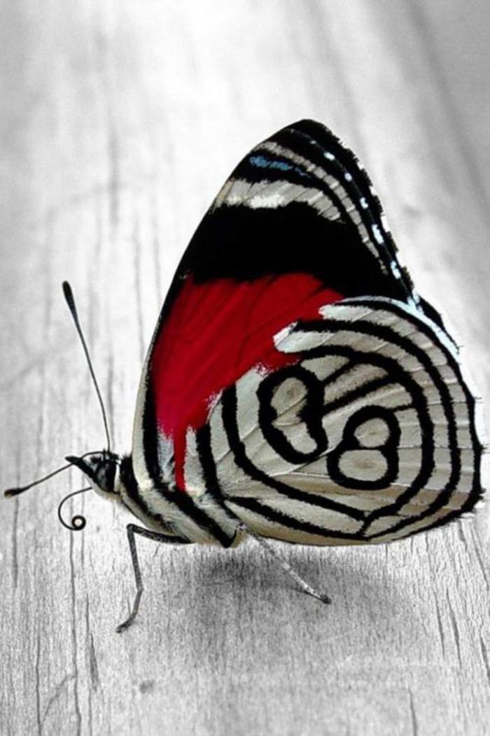 photos-de-papillons-photo-papillon-rouge-et-blanc-image-de-papillon