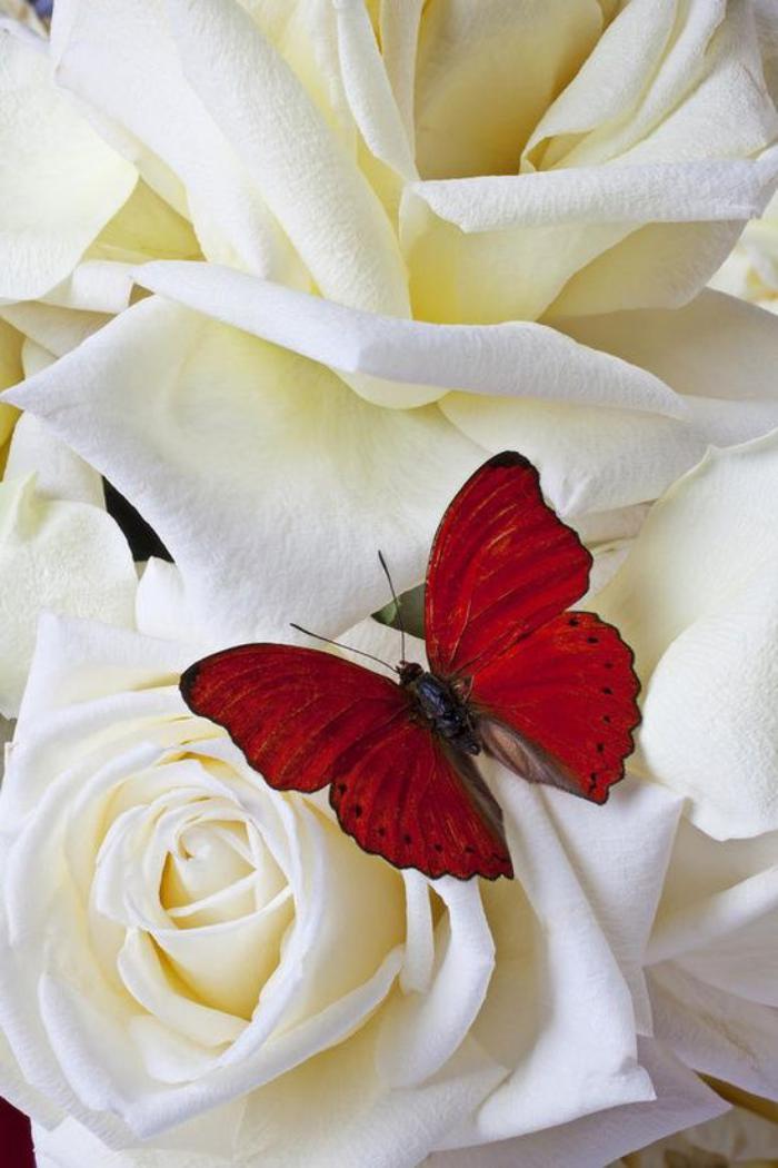 photos-de-papillons-photo-papillon-rouge-sur-rose-blanche