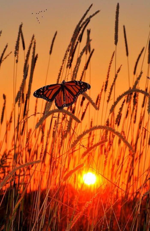 photos-de-papillons-un-papillon-au-coucher-su-soleil