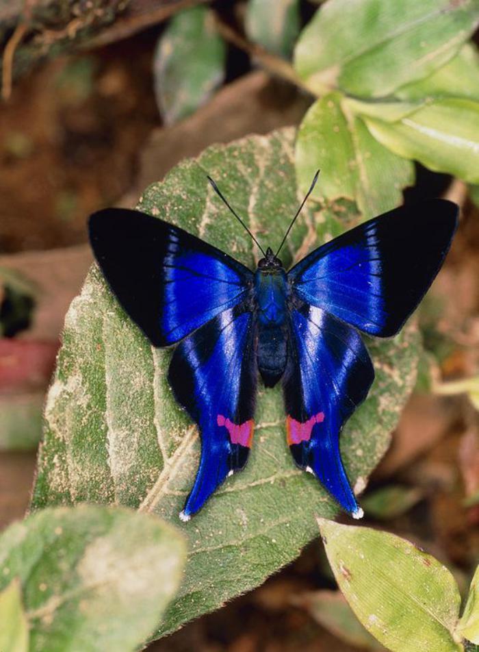 photos-de-papillons-un-papillon-bleu-magnifique-images-papillons
