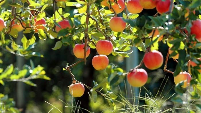 printemps-arabe-beauté-image-trop-cool-à-voir-intéressante-pommes