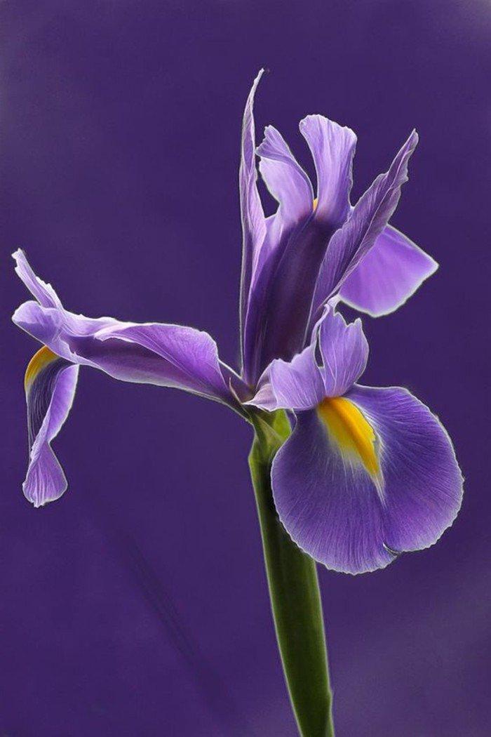 splendide-fleurs-violette-cool-image-à-mettre-comme-fond-d-ecran-pres-des-fleurs