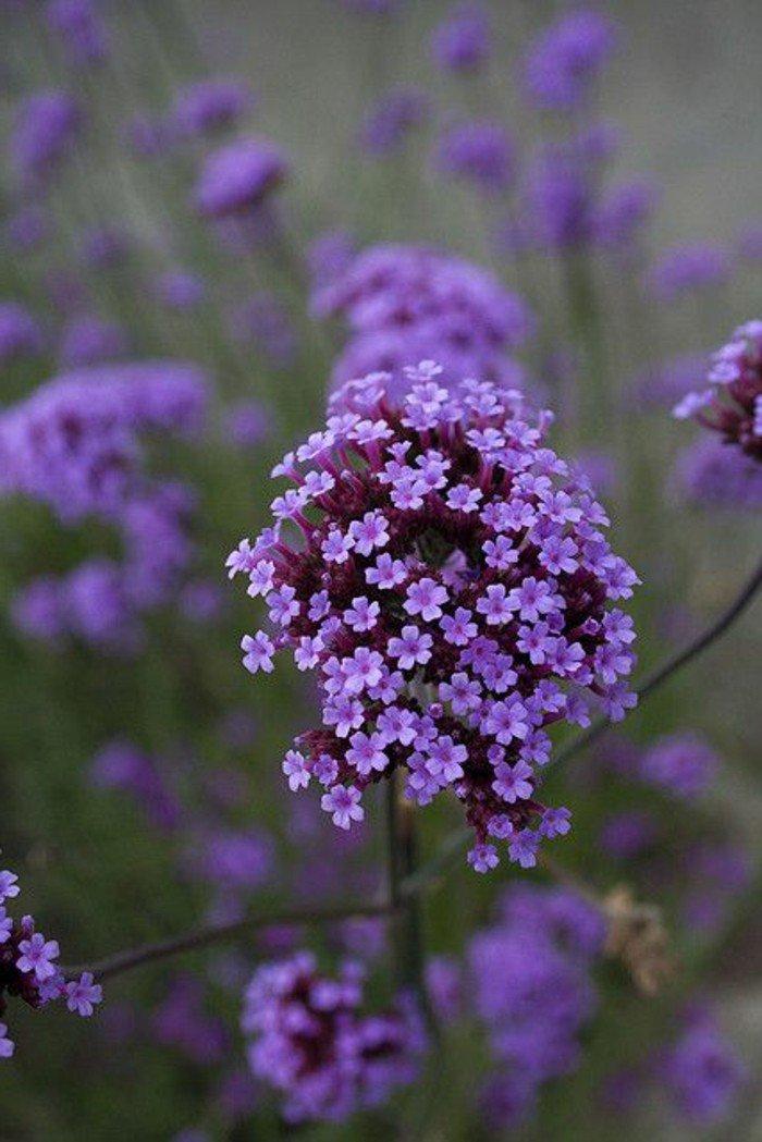violettes-fleurs-arbre-fleurs-violettes-langage-des-fleurs-violette