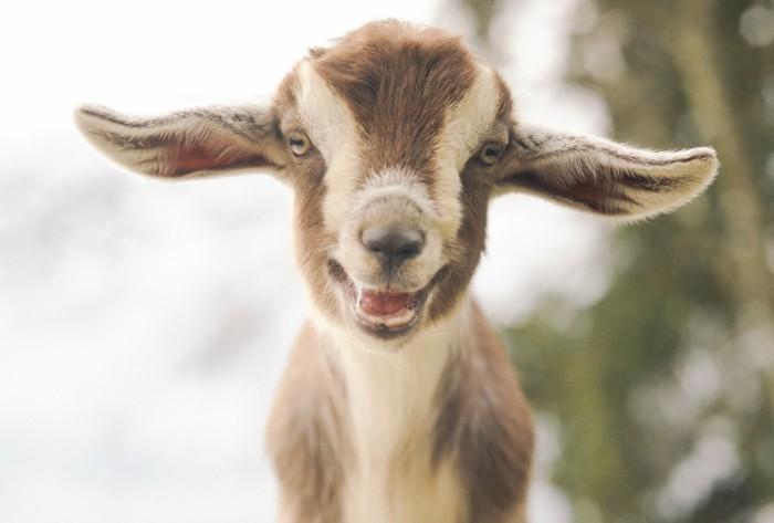 Superbe photo bebe chevreau animaux la belle nature