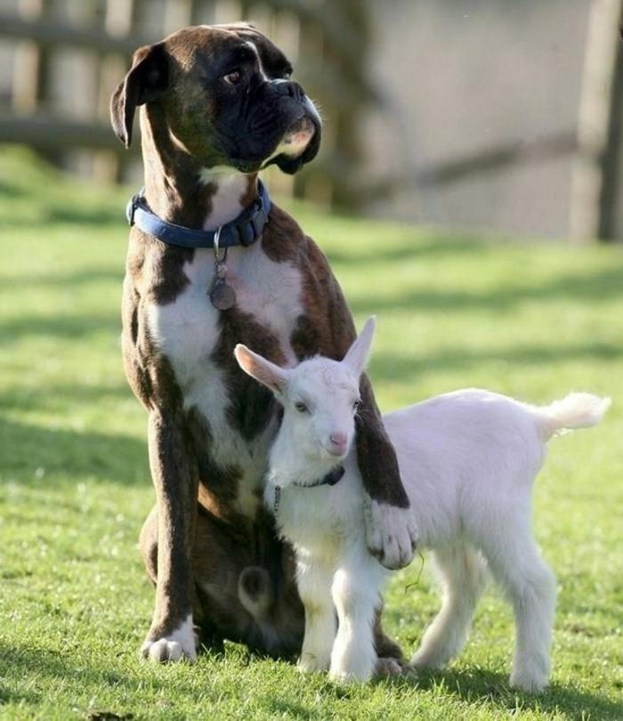 cool-photo-chien-et-petit-chevreaux-de-animaux-trop-mignom-image
