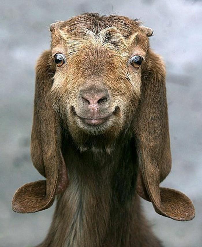 Les plus belles photos de chevreau mignon - Image bebe animaux ...