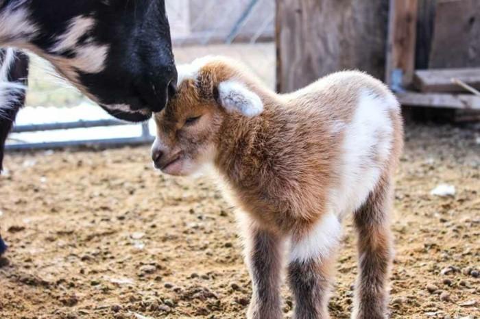 image-bébé-animaux-chevreaux-sympa-amour-de-parent