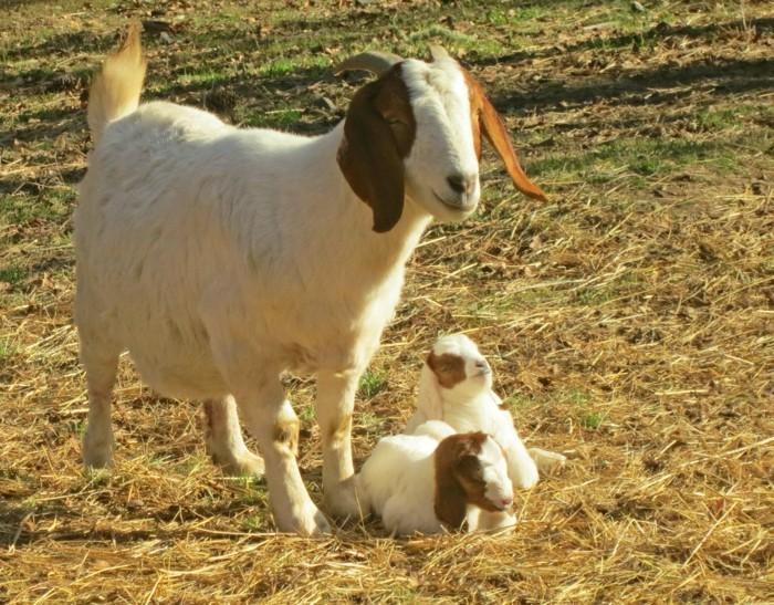 image-bébé-animaux-chevreaux-sympa-trop-mignon
