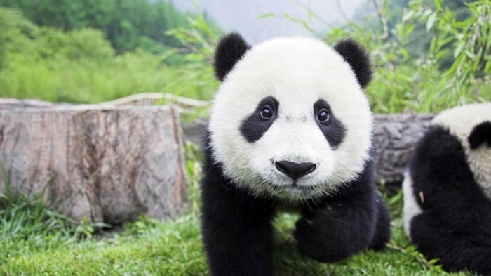 adorable-photo-animal-panda-dessin-belle-photo-nature