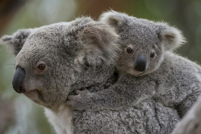 animal-koala-image-de-bébé-mignon-bebe-et-maman