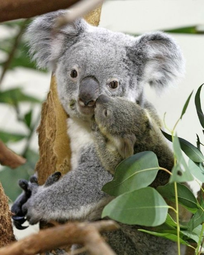 animal-koala-image-de-bébé-mignon-bisou-bébé-koala