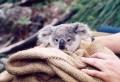 Les meilleures photos et vidéos de bébé koala!