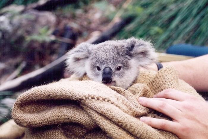animal-koala-image-de-bébé-mignon-nature-beauté