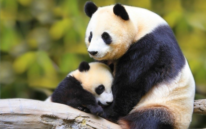 animal-panda-dessin-belle-photo-nature-maman-et-bébé