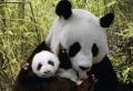 Le bébé panda – pouvez-vous choisir le plus mignon?
