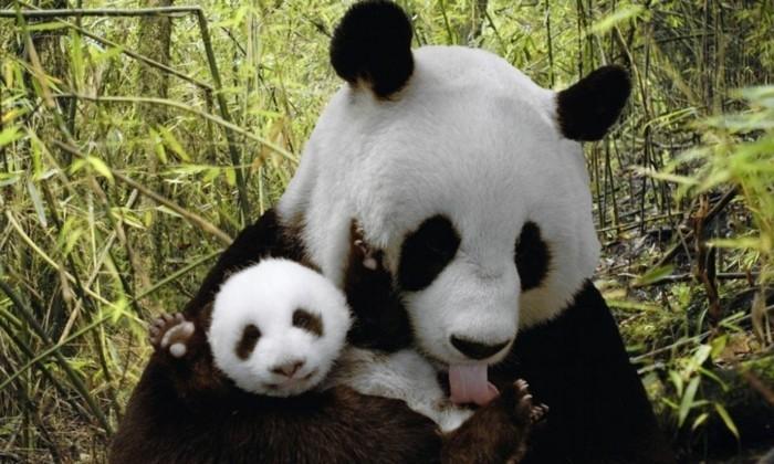 animal-panda-dessin-belle-photo-nature-nature-beauté