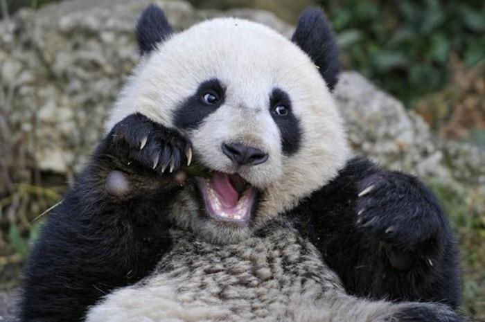 animaux-mignons-panda-roux-bebe-panda-belle-image