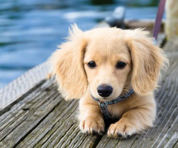animaux-miniatures-bébé-chien-race-de-petite-taille